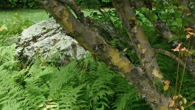 landscape-trees-hopkinton-n